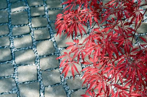 かえでの葉「Red foliage of Japanese maple (Acer palmatum) over grey cobbles」:スマホ壁紙(9)