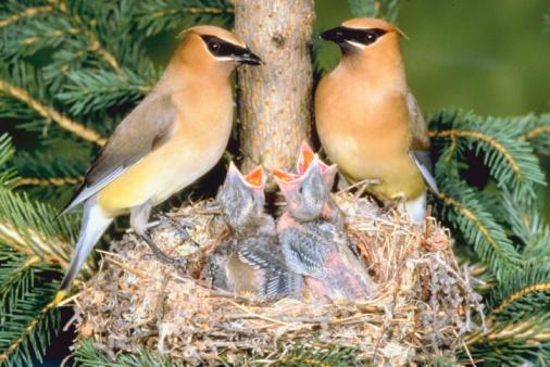 Waxwing「Birds with offspring in nest」:スマホ壁紙(9)
