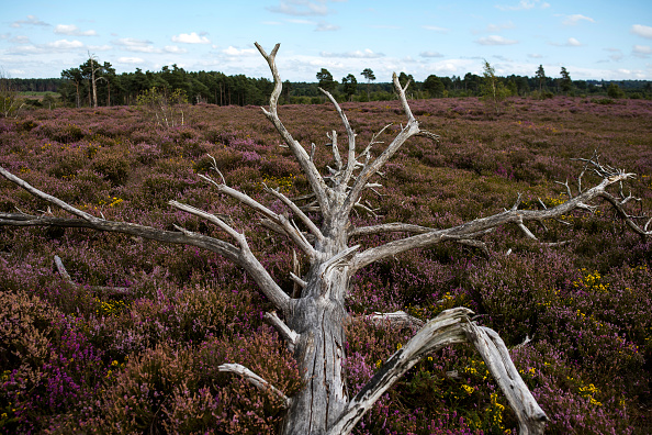 England「Heather Blooms On Thursley Common」:写真・画像(12)[壁紙.com]