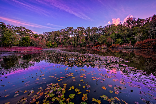 Water Lily「Jubilee Lake in Daylesford at dawn」:スマホ壁紙(17)