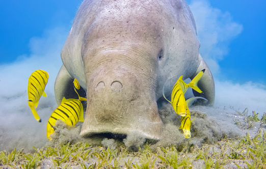 Eel Grass「Male Dugong and Golden trevally (Gnathanodon speciosus) feeding on seagrass beds in Red Sea - Marsa Alam - Egypt」:スマホ壁紙(1)