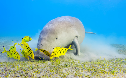 Eel Grass「Male Dugong and Golden trevally (Gnathanodon speciosus) feeding on seagrass beds in Red Sea - Marsa Alam - Egypt」:スマホ壁紙(2)
