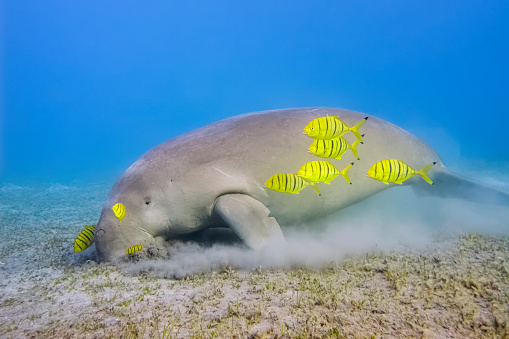 Endangered Species「Male Dugong and Golden trevally (Gnathanodon speciosus) feeding on seagrass beds in Red Sea - Marsa Alam - Egypt」:スマホ壁紙(8)