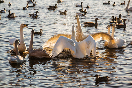 Battle「Whooper Swans Cygnus cygnus fighting at Martin Mere bird reserve near Southport, Lancashire, UK.」:スマホ壁紙(1)