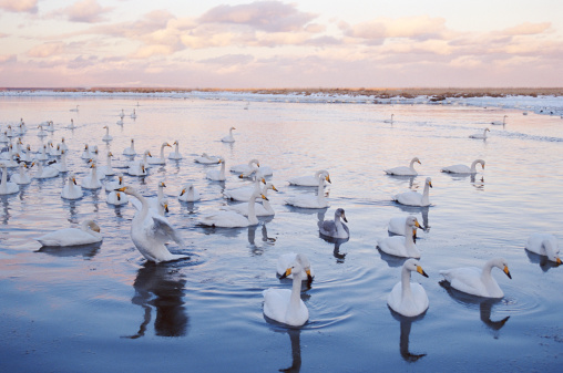野生動物「Whooper swans (Cygnus cygnus) on lake, sunset」:スマホ壁紙(11)