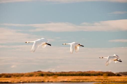 Refugee「Whooper Swans at Martin Mere bird reserve near Ormskirk, Lancashire, UK.」:スマホ壁紙(16)