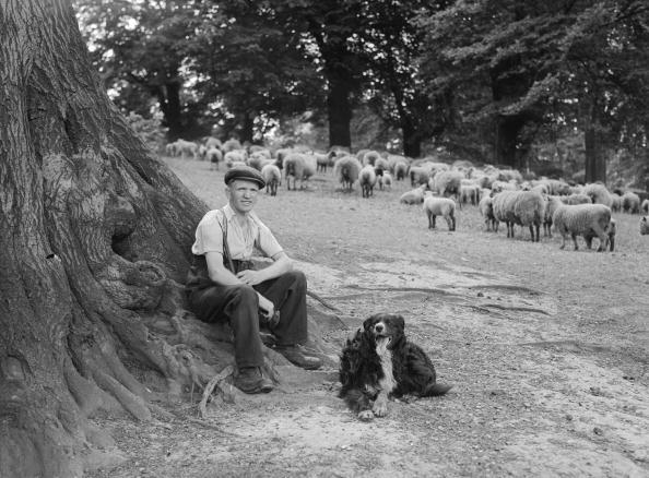 Sheep「London Shepherd」:写真・画像(10)[壁紙.com]