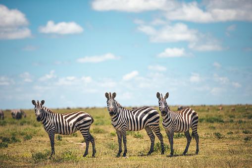 Zebra「Three Zebras」:スマホ壁紙(13)
