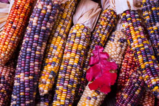 Indian Corn「Red leaf and Indian corn」:スマホ壁紙(17)