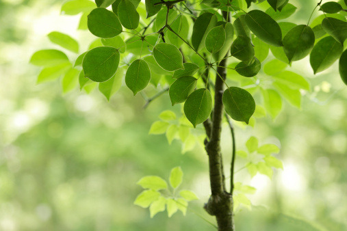 Japan「Tree, close-up, Chiba Prefecture, Honshu, Japan」:スマホ壁紙(9)