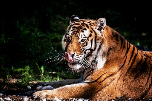 虎「食事の後、彼の口を舐めているタイガー」:スマホ壁紙(17)