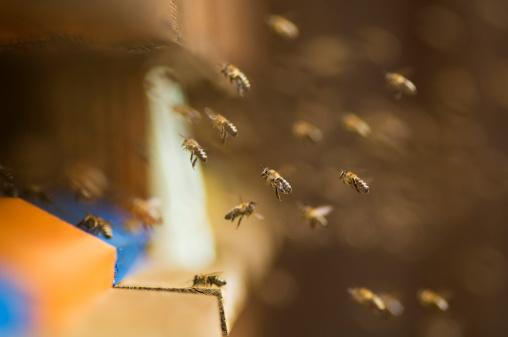Austria「Honeybee hives (Apis mellifera)」:スマホ壁紙(18)