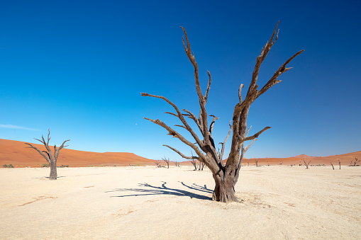 Acacia Tree「Dead Vlei - iconic clay lake with remains of centuries-old trees, Soussusvlei, Namibia, 2018」:スマホ壁紙(12)