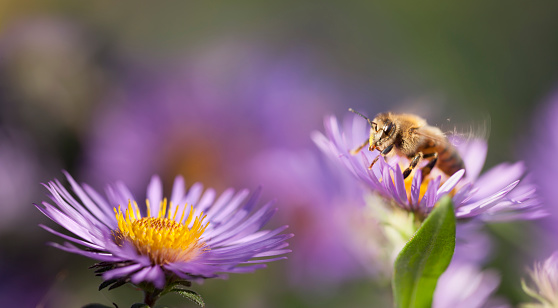 Aster「Bee Launching onto a New England Aster」:スマホ壁紙(17)
