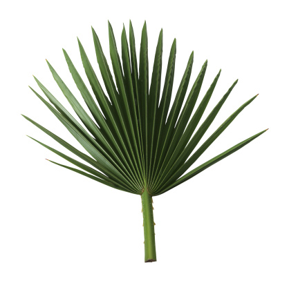 Frond「Palm frond」:スマホ壁紙(18)