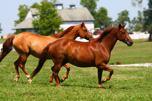 Horse「Two brown horses running through a pasture」:スマホ壁紙(4)