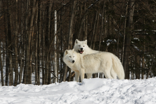 Wolf「北極オオカミの 2 つの嵌合時に、冬のシーズン」:スマホ壁紙(16)