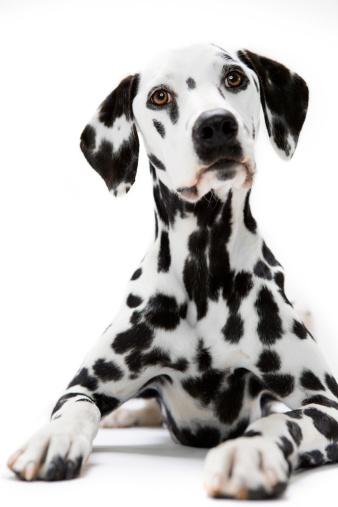 Dalmatian Dog「Dalmatian Sitting at Attention」:スマホ壁紙(18)