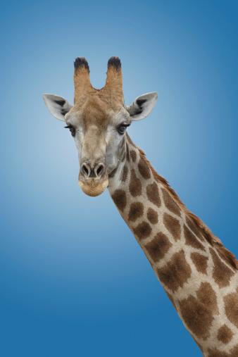 Giraffe「Giraffe on a blu background」:スマホ壁紙(7)