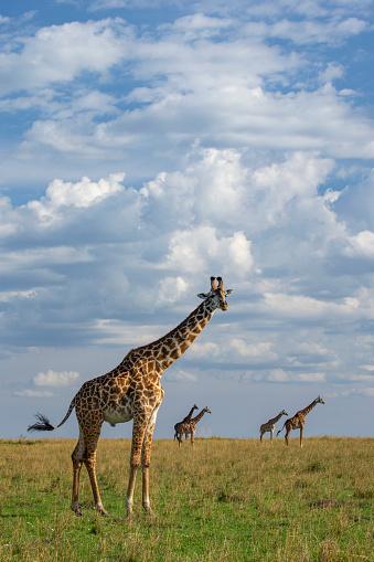 Giraffe「Giraffe on Savanna, Masai Mara Game Reserve, Kenya, Africa」:スマホ壁紙(4)