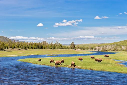 野生動物「USA, Yellowstone National Park, Herd of buffaloes drinking at Madison river」:スマホ壁紙(11)