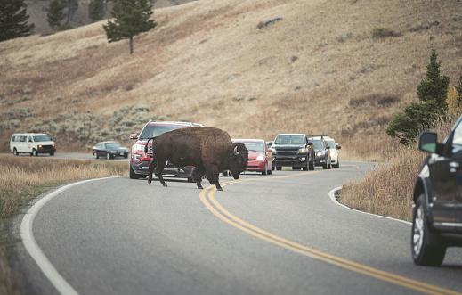 遅い「USA, Yellowstone National Park, Bison crossing road」:スマホ壁紙(19)
