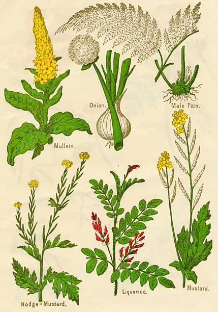 Flowers: Mullein, Onion, Male Fern, Nodge-Mustard, Liquorice, Mustard, c1940:ニュース(壁紙.com)