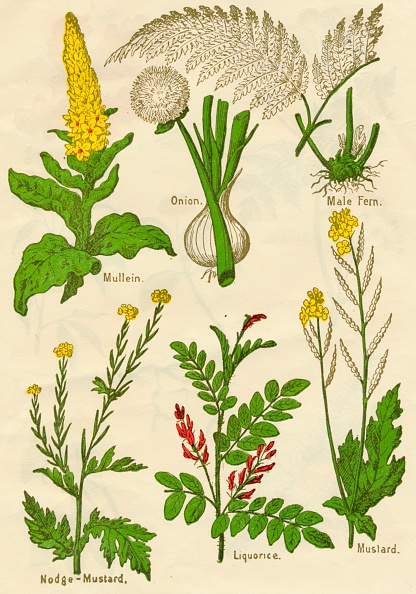 静物「Flowers: Mullein, Onion, Male Fern, Nodge-Mustard, Liquorice, Mustard, c1940」:写真・画像(1)[壁紙.com]