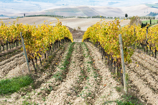 Earth「Italy, Tuscany, San Quirico Dorcia, Vineyard with yellow autumn leaves going down」:スマホ壁紙(14)
