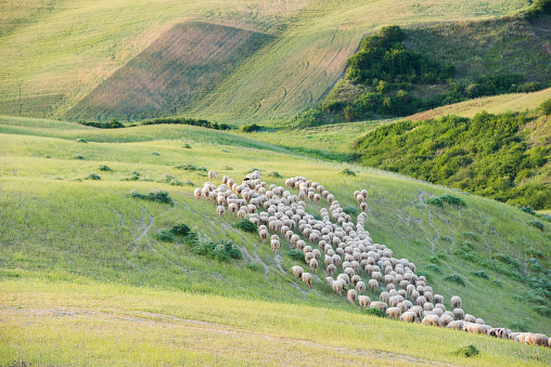 Flock Of Sheep「Italy, Tuscany, Val d'Orcia, flock of sheep grazing in meadow」:スマホ壁紙(10)