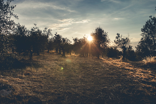 Grove「Italy, Tuscany, landscape at sunset with olive trees」:スマホ壁紙(7)