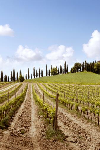 Grape「Italy: Tuscany - Vineyard」:スマホ壁紙(9)