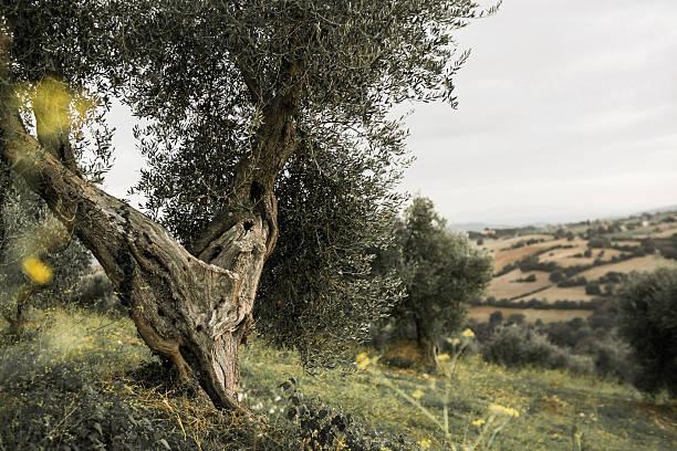 Italy, Tuscany, Maremma, olive tree on hill:スマホ壁紙(壁紙.com)