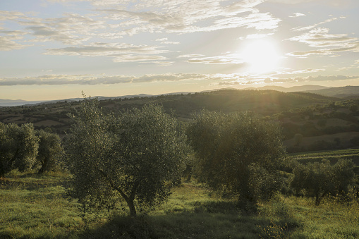 Grove「Italy, Tuscany, Maremma, olive trees at sunset」:スマホ壁紙(3)