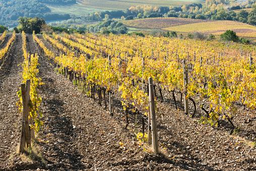 Earth「Italy, Tuscany, Ciacci Piccolomini DAragona, Harvested and bare grapevine rows」:スマホ壁紙(11)