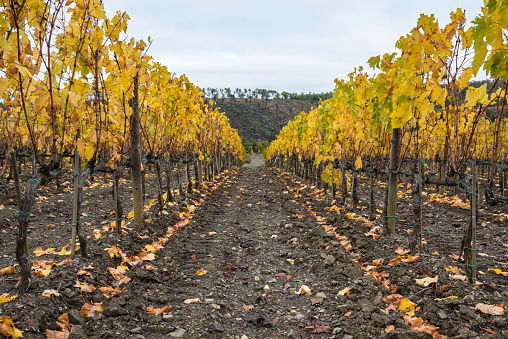 Leaf「Italy, Tuscany, Ciacci Piccolomini DAragona, Harvested and bare grapevine rows」:スマホ壁紙(17)