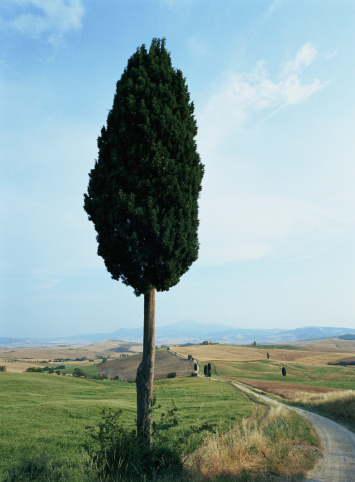 Rolling Landscape「Italy, Tuscany, Val D'Orcia, Cypress Tree (Cupressus sp.)」:スマホ壁紙(14)