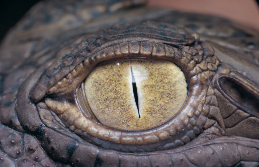 Reptile「Eye of a Nile Crocodile (Crocodylus niloticus)」:スマホ壁紙(19)