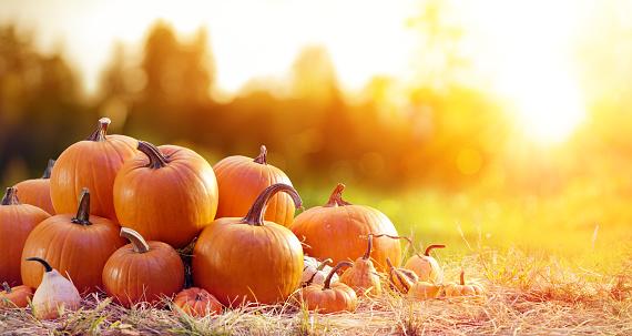 Pumpkin「Ripe Pumpkins In Field At Sunset」:スマホ壁紙(16)
