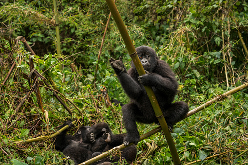 Waving「A group of young mountain gorillas are playing in the jungle.」:スマホ壁紙(14)