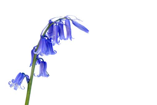 Bluebell「Bluebell wild flower」:スマホ壁紙(16)