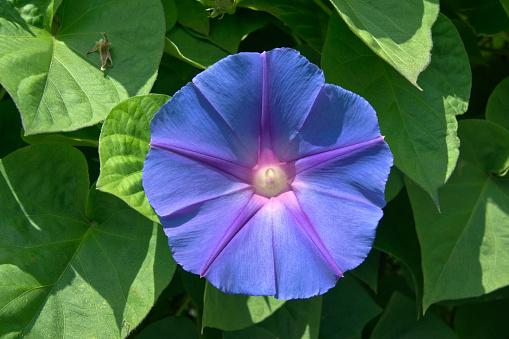 朝顔「Western morning glory(Heavenly Blue)」:スマホ壁紙(6)