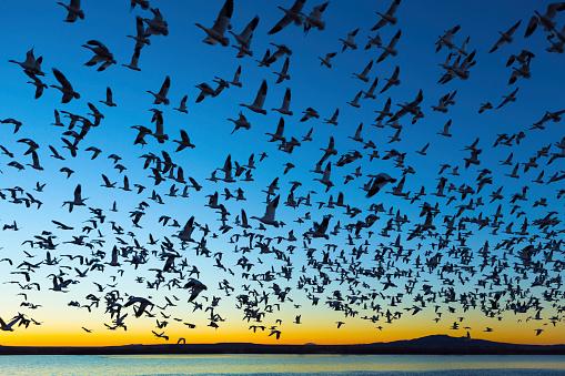 Flock Of Birds「Bosque del Apache National Wildlife Refuge, New Mexico」:スマホ壁紙(7)