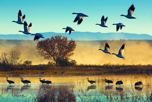Flock Of Birds「Bosque del Apache National Wildlife Refuge」:スマホ壁紙(6)