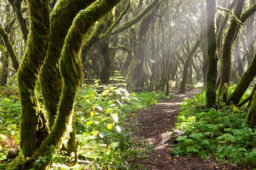 Atlantic Islands「Spain, Canary Islands, La Gomera, Cloud forest, Laurel forest, path」:スマホ壁紙(11)