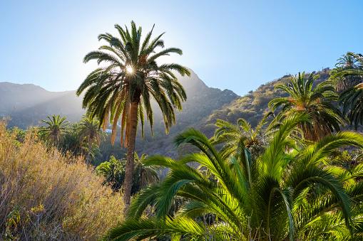 Atlantic Islands「Spain, Canary Islands, La Gomera, Tamargada, Canary Island Date Palm」:スマホ壁紙(6)