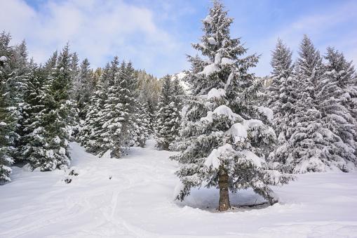 グルノーブル「Snow cowered coniferous tree」:スマホ壁紙(13)