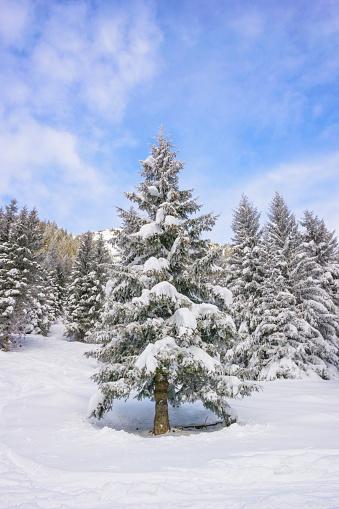 グルノーブル「Snow cowered coniferous tree」:スマホ壁紙(14)