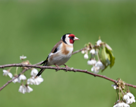 梅の花「欧州 Goldfinch (carduelis_carduelis)、梅の花」:スマホ壁紙(16)