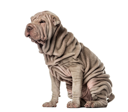 Sensuality「Puppy Shar Pei sitting, 10 weeks old, isolated on white」:スマホ壁紙(0)
